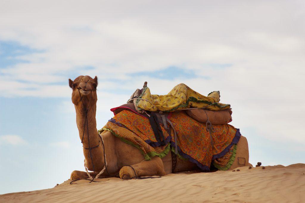 Kamel in Rajasthan, Indien