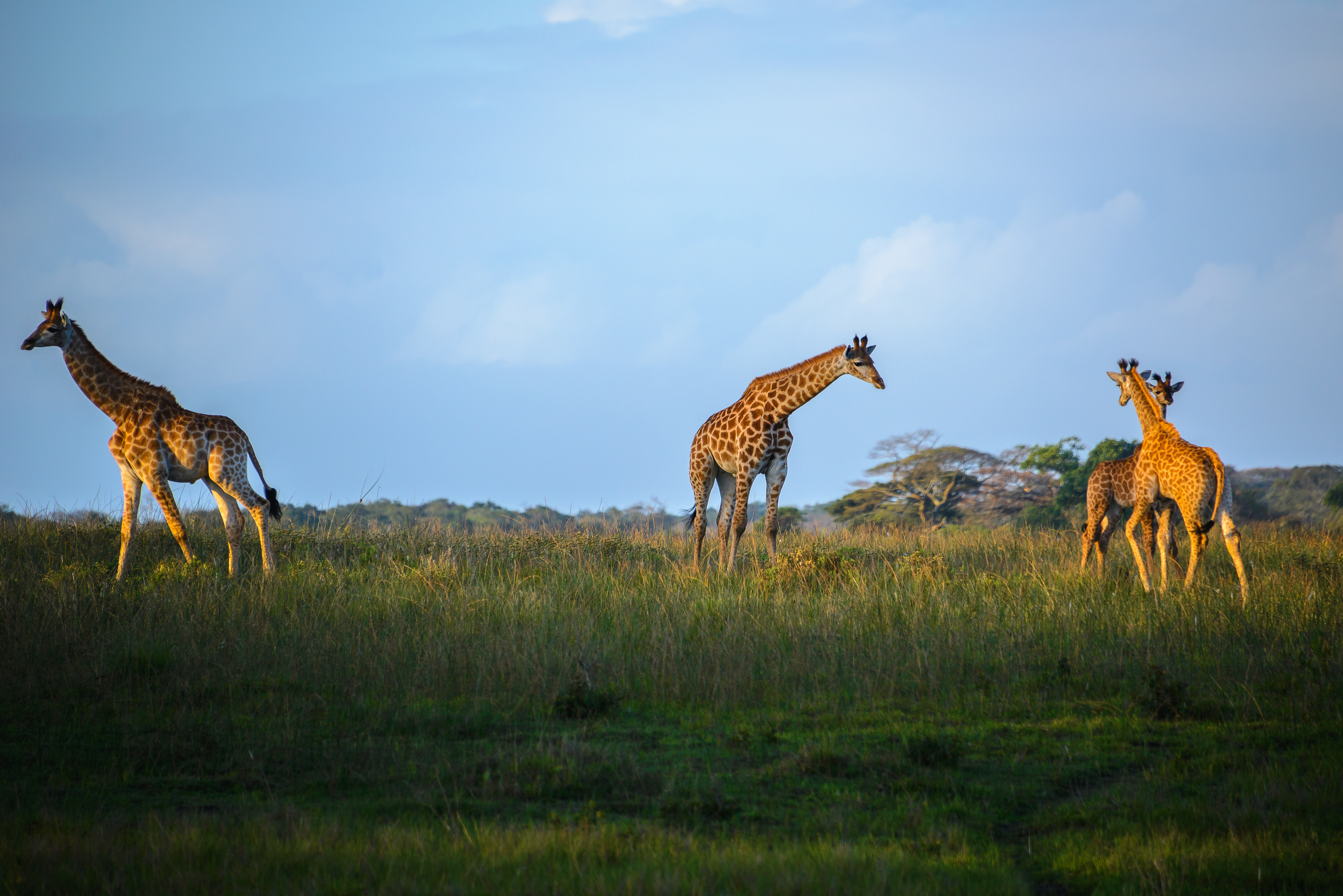 Giraffen bei einer Bush Safari in Südafrika