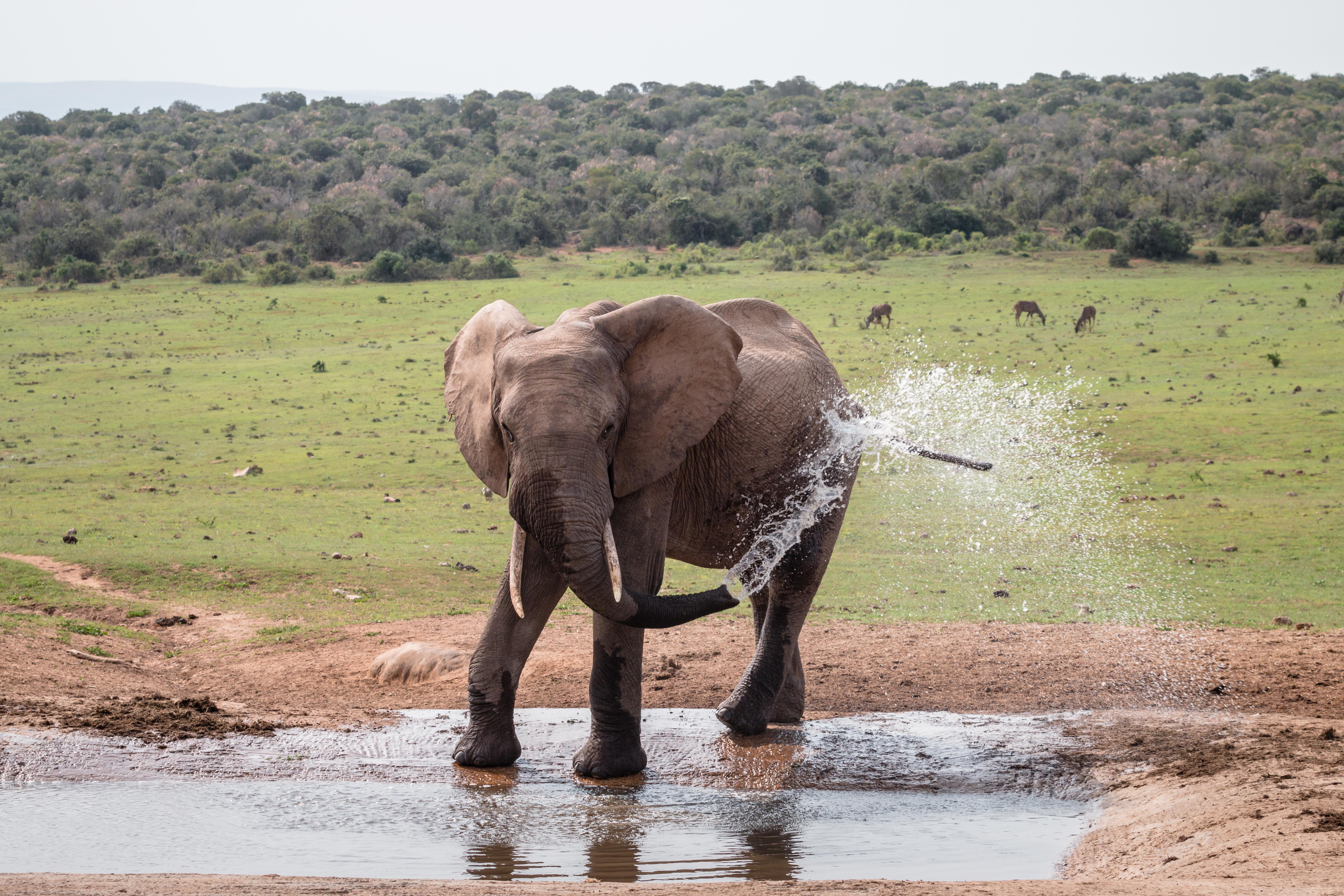 Junger Elefant im Addo Elephant Park in Südafrika